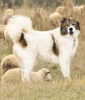 Болгарская овчарка фото