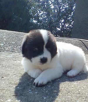 Болгарская овчарка щенок фото