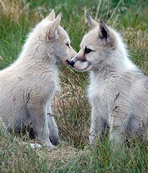 Гренландская собака щенок фото