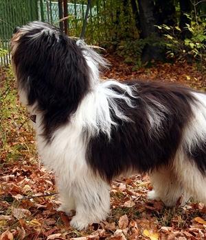 Польская низинная овчарка фото
