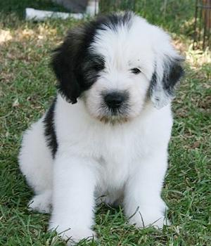 Польская низинная овчарка щенок фото