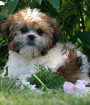 Ши-тцу щенок фото