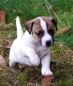 Парсон Рассел терьер щенок фото