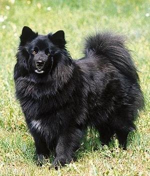 Шведский Lapphund фото