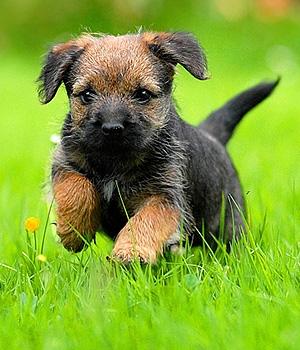Бордер терьер щенок фото