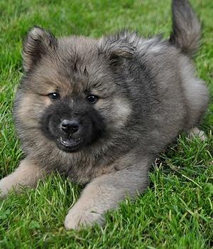 Евразиер щенок фото
