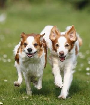 Кромфорлендер собака фото