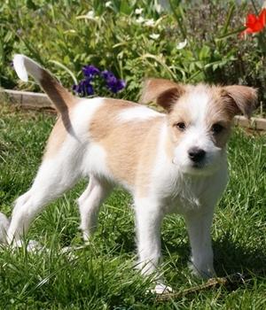 Кромфорлендер щенок фото