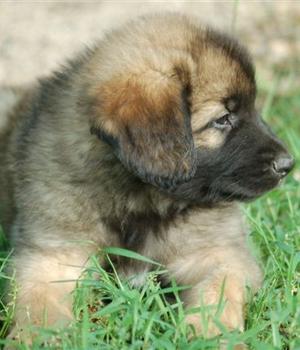 Леонбергер щенок фото