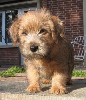 Норфолк-терьер щенок фото