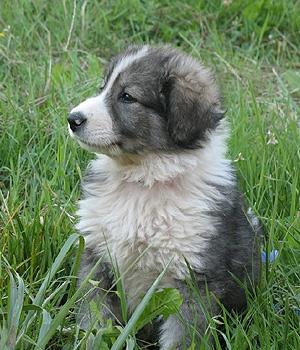 Румынская карпатская овчарка щенок фото