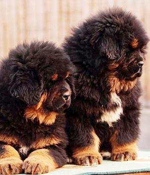 Тибетский мастиф щенок фото