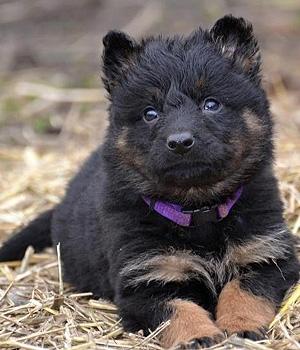 Чешская пастушья собака щенок фото