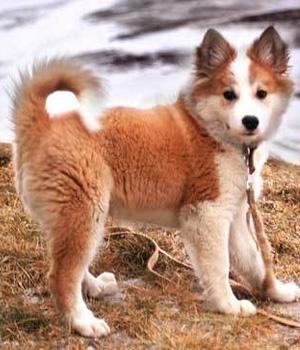 Исландская собака щенок фото