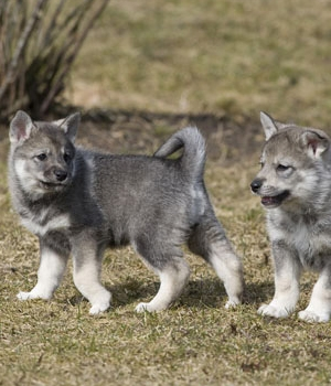 Емтхунд (Шведская лайка) щенок фото