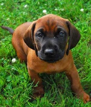 Баварская горная гончая щенок фото