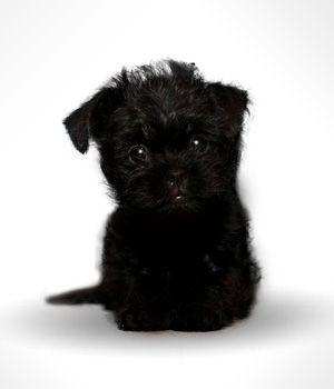 Черный Аффенпинчер щенок фото