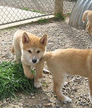 Динго щенок фото