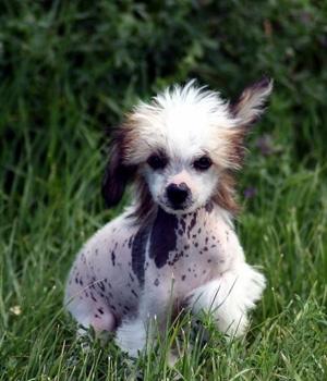Китайская хохлатая собака щенок фото
