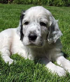 Английский сеттер щенок фото