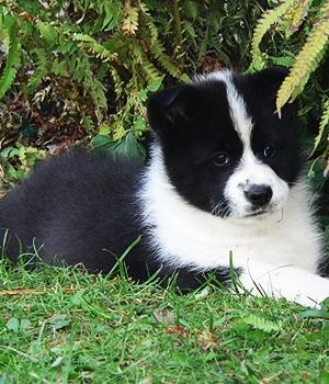 Карельская медвежья собака щенок фото