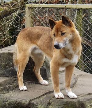 Новогвинейская поющая собака фото