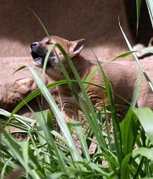 Новогвинейская поющая собака щенок фото