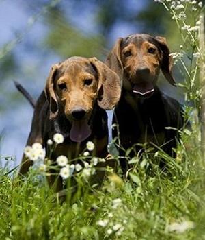 Сербская гончая щенок фото