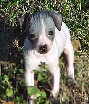 Американский голый терьер щенок фото