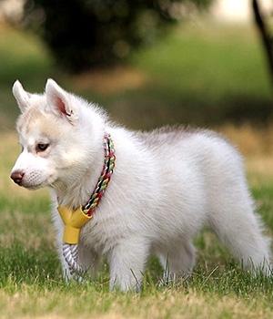 Канадская эскимосская собака щенок фото