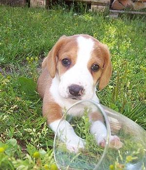 Древер щенок фото
