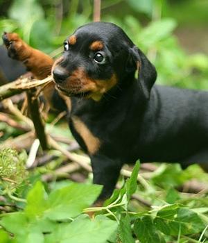 Немецкий пинчер щенок фото