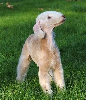 Бедлингтон-терьер щенок фото