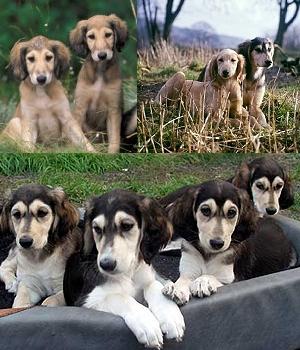 Салюки щенок фото