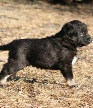 Лапландская пастушья собака щенок фото
