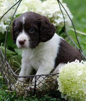 Английский спрингер-спаниель щенок фото