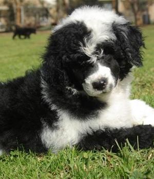 Португальская водяная собака щенок фото