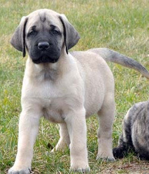 Американский мастиф щенок фото