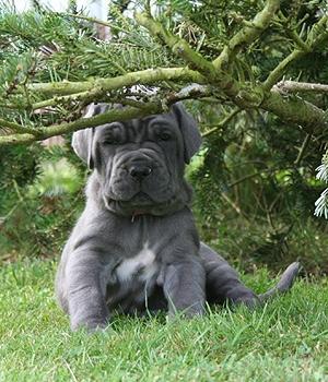 Неаполитанский мастиф щенок фото