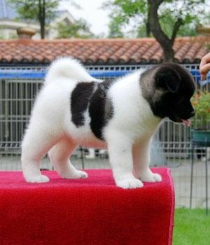 Американская акита щенок фото