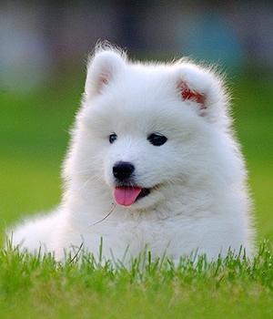 Самоедская собака щенок фото