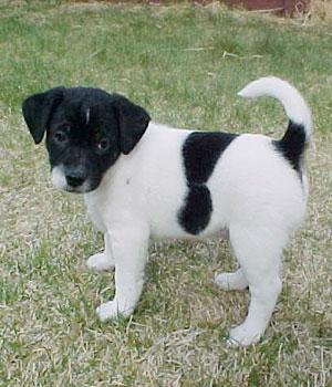 Датско-шведская фермерская собака щенок фото