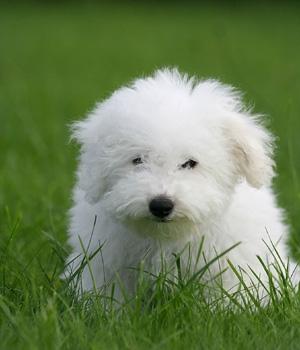 Бишон фризе щенок фото
