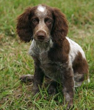 Понт-одемерский спаниель щенок фото