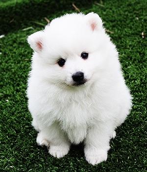 Вольпино итальяно щенок фото