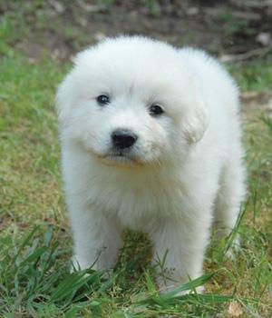 Пиренейский мастиф щенок фото