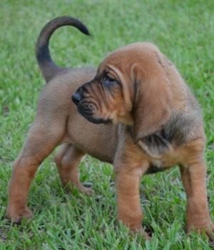 Бладхаунд щенок фото