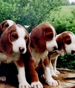 Немецкая гончая щенок фото