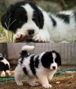 Торньяк щенок фото