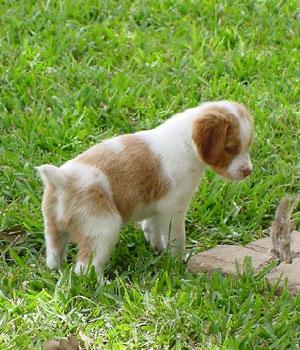 Бретонский эпаньоль щенок фото